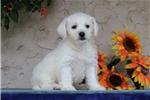 Picture of Audrey EE Healthy Hypoallergenic Westiepoo Puppy