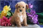 Picture of Brett JS Cuddly, Soft, Westie Poo Puppy