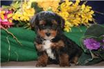 Picture of Echo SF Very Tiny Energetic Yorki Poo Puppy