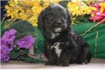 Picture of Baba SF Very Tiny Energetic Yorki Poo Puppy