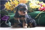 Picture of Pati   SF  Very Tiny Energetic Yorki Poo Puppy