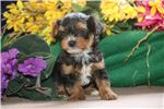 Picture of Sparky SFVeryTiny EnergeticHealthy Yorki Poo Puppy