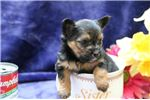 Picture of Olivia RH YorkiPom Puppy (Bred to be very small)