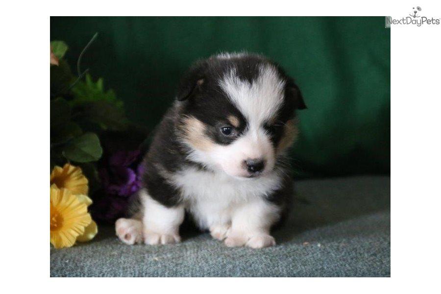 Emma Ph: Welsh Corgi, Pembroke puppy for sale near In Philippines