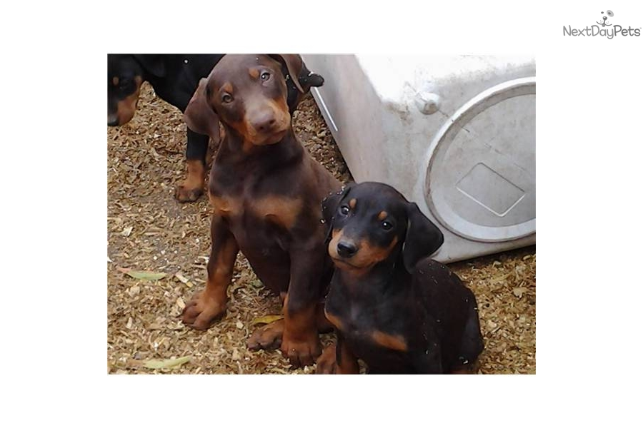 Doberman Pinscher Puppy For Sale Near Los Angeles California 39821bba 9921