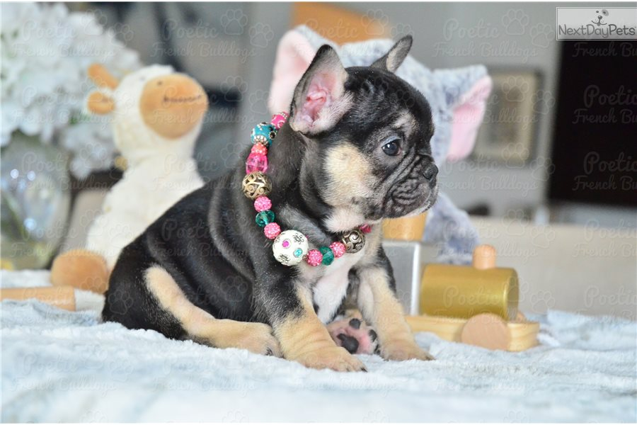 Pumpkin French Bulldog Puppy For Sale Near Fort Lauderdale