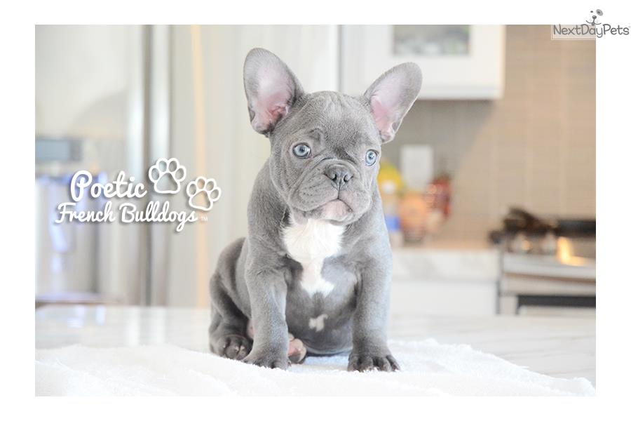 french bulldog breeders near me french bulldog puppy for sale near fort lauderdale 7113