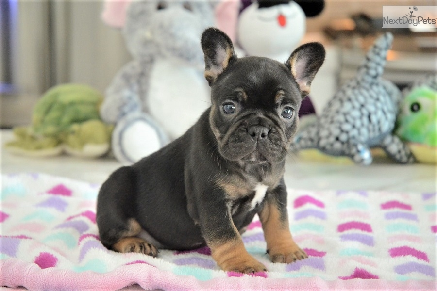 Sadie French Bulldog Puppy For Sale Near Fort Lauderdale