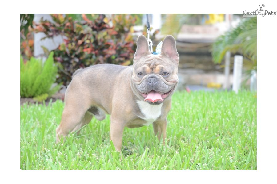 Babar French Bulldog Puppy For Sale Near Fort Lauderdale
