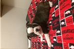 Picture of AKC Boston Terrier