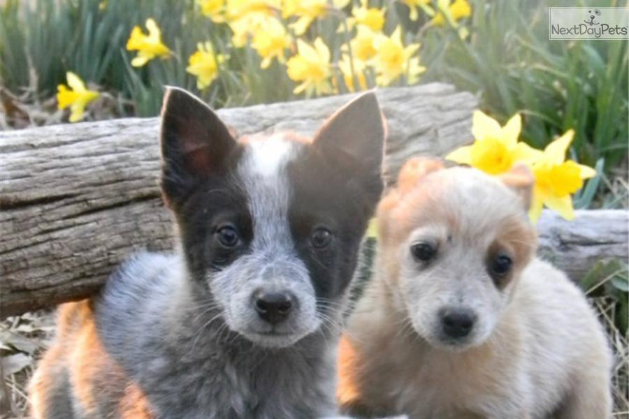 Meet Yellow A Cute Australian Cattle Dog Blue Heeler Puppy
