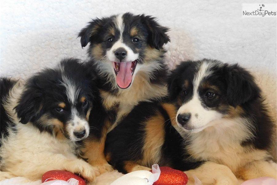 Miniature Australian Shepherd puppy for sale near Southeast