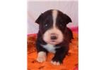 Picture of an Australian Shepherd Puppy