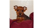 Picture of an Australian Terrier Puppy