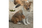 Picture of a Shetland Sheepdog - Sheltie Puppy