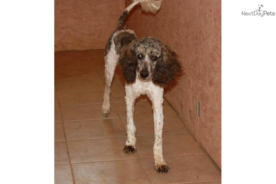 Meet Female A Cute Poodle Standard Puppy For Sale For