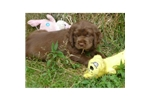 Picture of a Sussex Spaniel Puppy