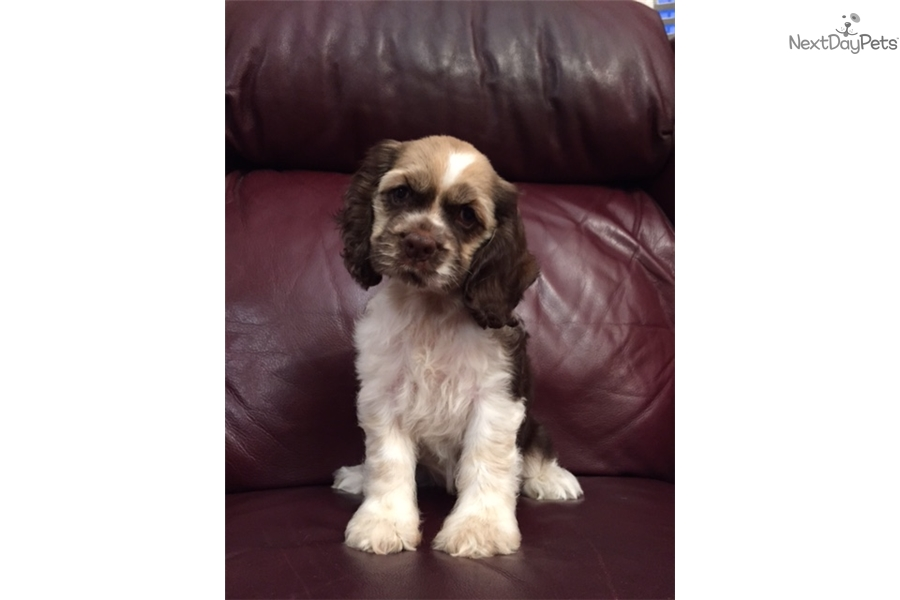 cocker spaniel puppies for sale in texas freckles cocker spaniel puppy for sale near dallas fort 4028