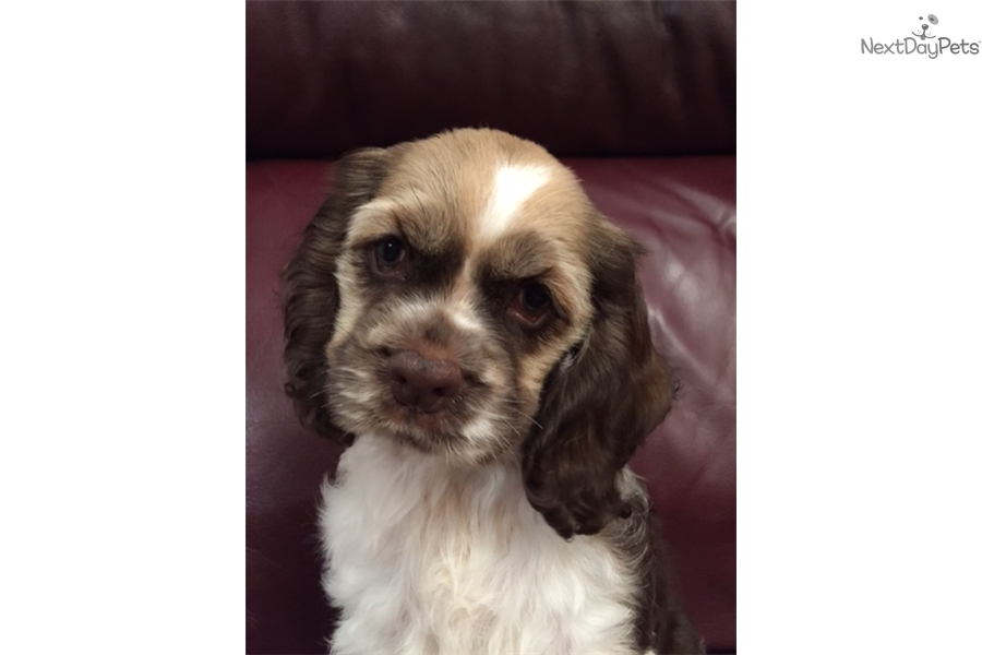 cocker spaniel puppies for sale in texas freckles cocker spaniel puppy for sale near dallas fort 8193