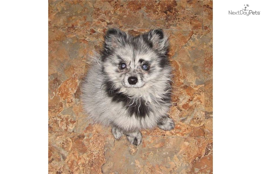 pomeranian puppies for sale seattle pomeranian puppy for sale near seattle tacoma washington 2898
