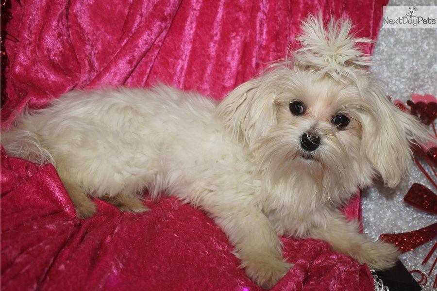 Maltese puppy for sale near Springfield, Missouri ...