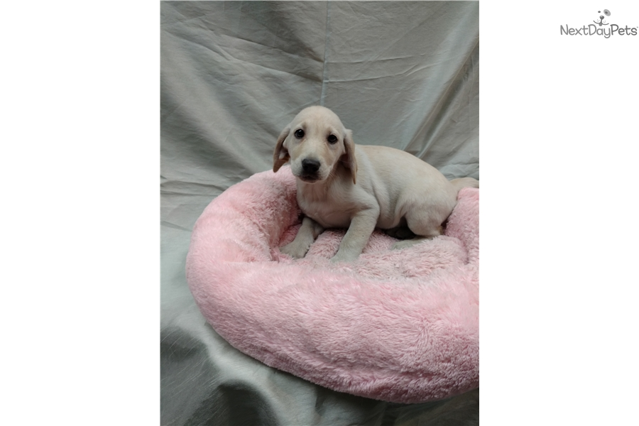 Labrador Retriever Puppy For Sale Near New York City New York