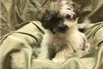 Teddy Roosevelt Terriers for sale