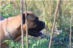 Picture of AKC Registered Bullmastiff Puppies