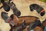 Irish Wolfhound for sale