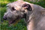Picture of AKC Registered Irish Wolfhound puppies born 02/18