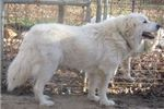 Picture of AKC Great Pyrenees in Georgia with OFA parents