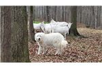Picture of AKC Great Pyrenees with OFA parents - North GA
