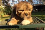 Picture of AKC Scout Ready Dec 8 in time for Christmas!