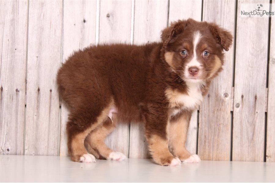 Laser: Australian Shepherd puppy for sale near In Queensland Australia
