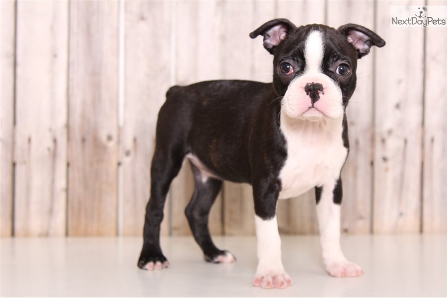 Kristy Boston Terrier Puppy For Sale Near Columbus Ohio 0a85404a