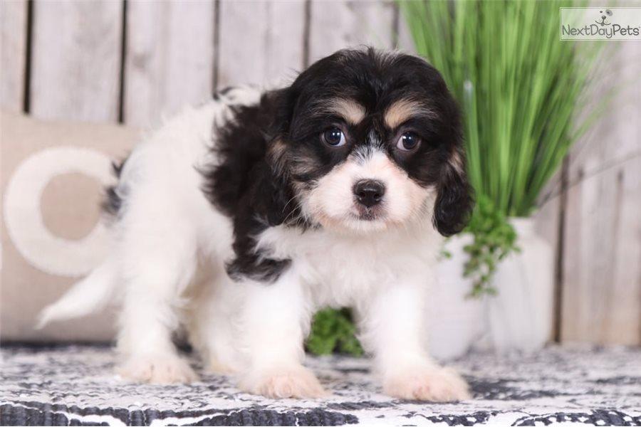 Bailey: Cavachon puppy for sale near Columbus, Ohio | 8d42e022-22c1