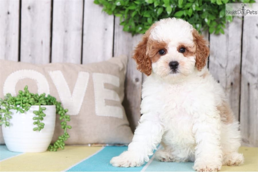 Wendy: Cavapoo puppy for sale near Columbus, Ohio