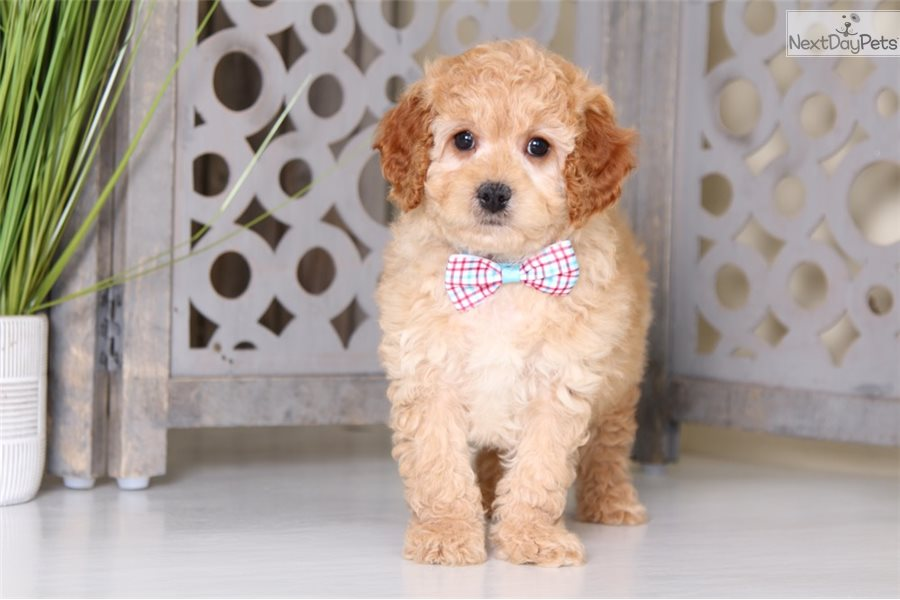 Knight: Cavapoo puppy for sale near Columbus, Ohio
