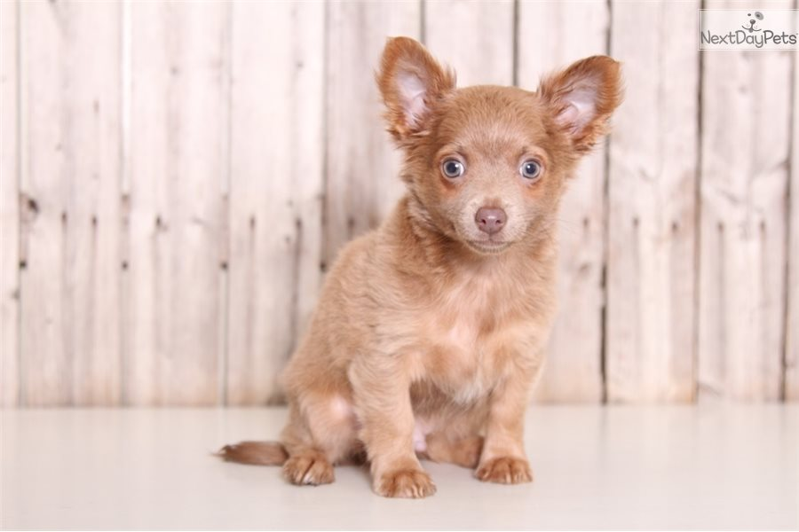 Cujo Chihuahua Puppy For Sale Near Columbus Ohio 7a46a8d2 6321