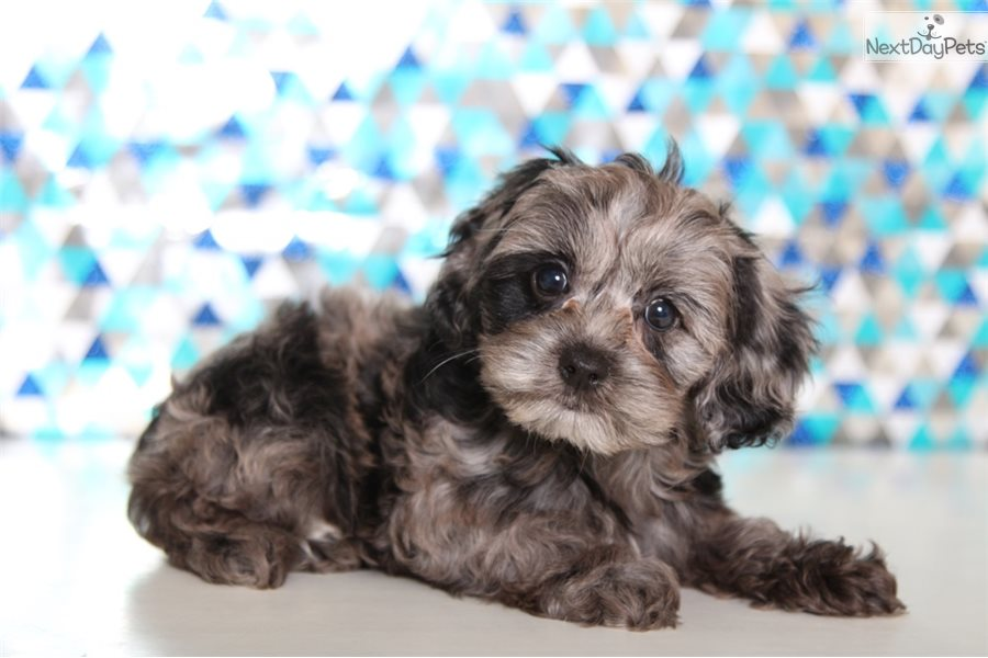 Diamond Cockapoo Puppy For Sale Near Columbus Ohio C54dcd4d 9101