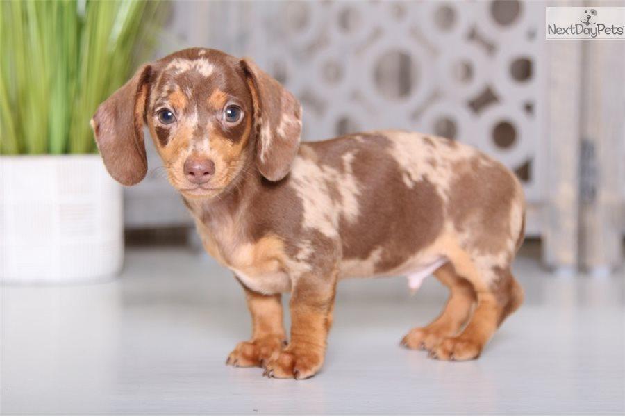 Felix: Dachshund, Mini puppy for sale near Columbus, Ohio