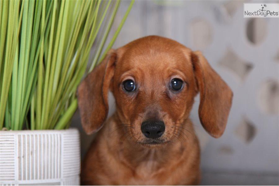 Tootsie: Dachshund, Mini puppy for sale near Columbus, Ohio ...