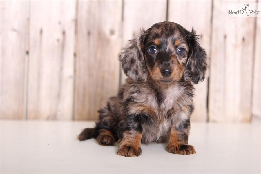 Macy: Dachshund, Mini puppy for sale near Columbus, Ohio
