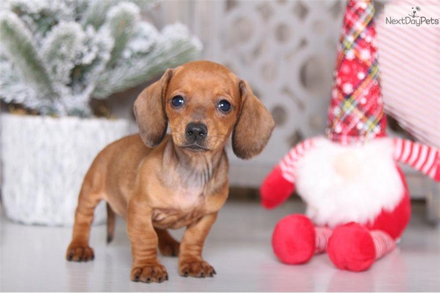Gertie: Dachshund, Mini puppy for sale near Columbus, Ohio