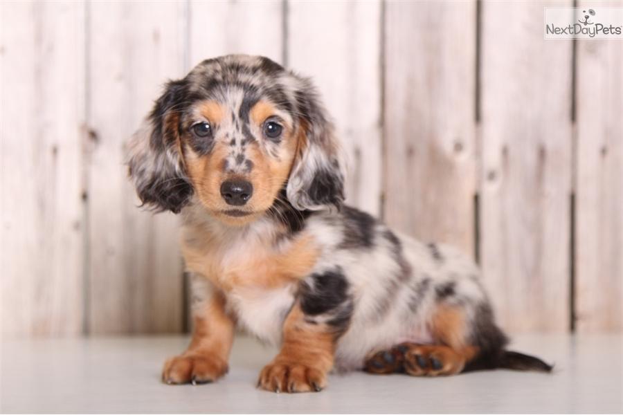 Chopper Dachshund Puppy For Sale Near Columbus Ohio 34c1ee2b 9401