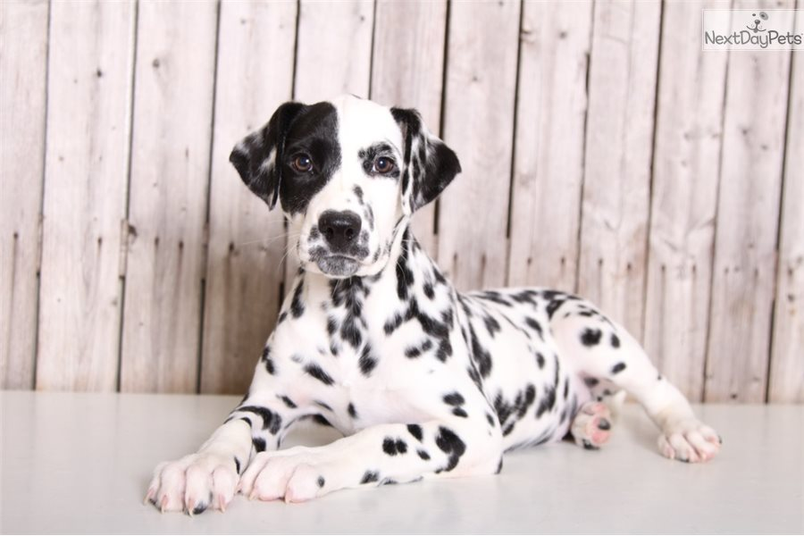 Molly Dalmatian Puppy For Sale Near Columbus Ohio D9e158a9 Bd71