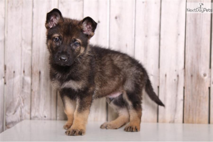 Gunner German Shepherd Puppy For Sale Near Columbus Ohio