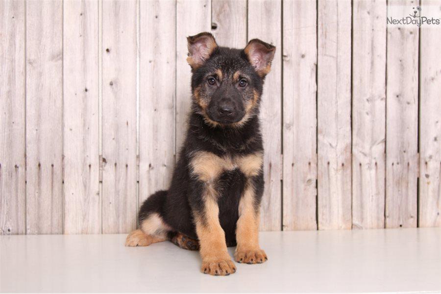 Rosie German Shepherd Puppy For Sale Near Columbus Ohio 5399a3b1