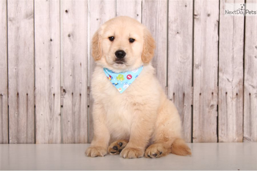 Reed Golden Retriever Puppy For Sale Near Columbus Ohio 65b7d674