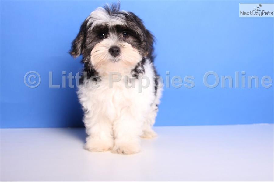 Mal-Shi - Malshi puppy for sale near Columbus, Ohio ...